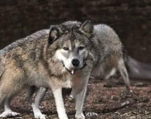 Telegram-бот «Сутулый Акела» создает мемы снелепыми волками итакимиже фразами