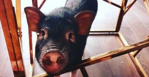 «Нажрался как свинья»: вМоскве поросенок Борис объелся экстази