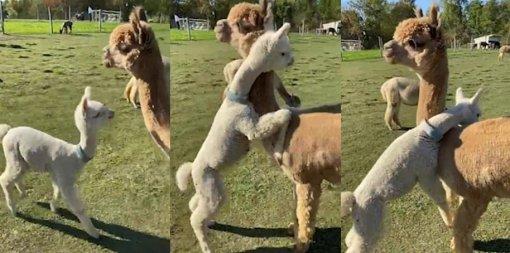 Милота дня: детеныш альпака обнимает свою маму
